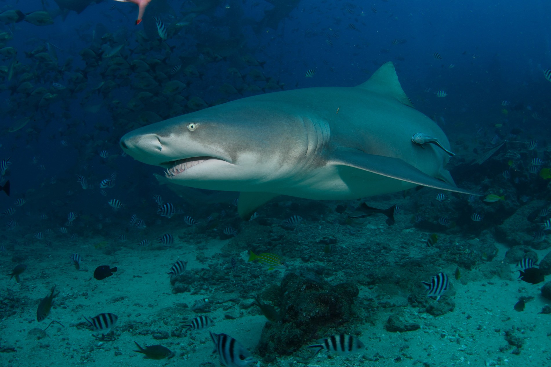 Sicklefin Lemon Shark